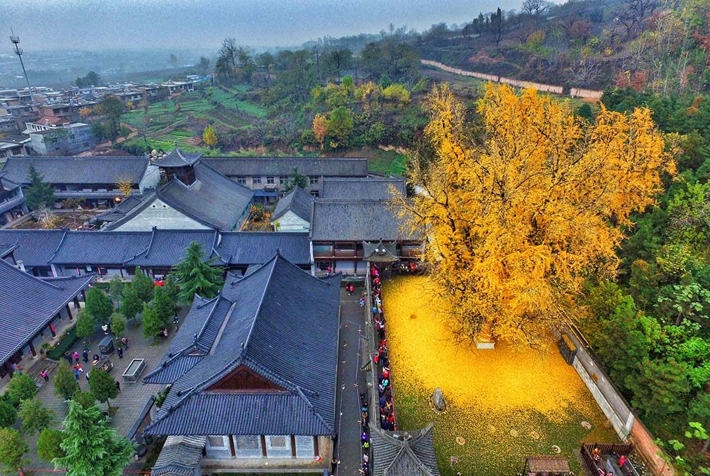 Every Year this Historic Tree Blankets the Earth with Yellow Leaves