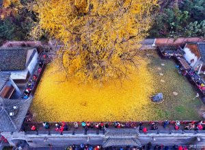 stunning-yellow-ginko-tree