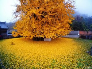 yellow-ginko